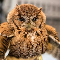 My little pumpkin @austinwildliferescue - We took in a red phase screech owl a couple weeks ago. Look at this beauty! . For info about promoting your owl art or crafts send me a direct message @owl.gifts or email owl-gifts@outlook.com . Follow @owl.gifts for beautiful and inspiring owl images and videos every day! . #owl #owls