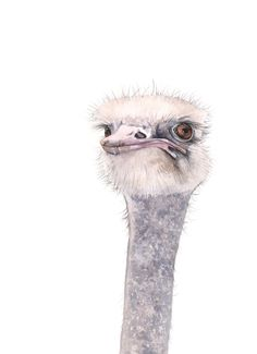 Ostrich watercolor painting O001 Archival print of by LouiseDeMasi