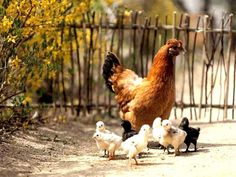 A Hen and her chicks in front of a grapestick fence.