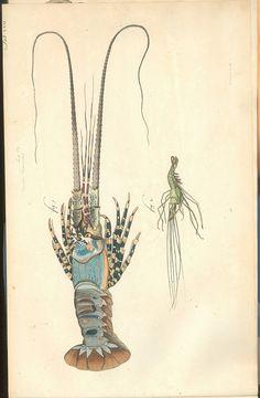 Versuch einer Naturgeschichte der Krabben und Krebse, lobster, shrimp, natural history, illustration