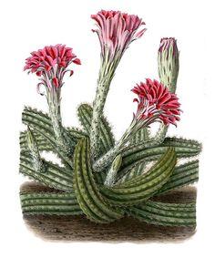 Echinocereus scheeri BlKakteen Tafel 14 - Blooming cactus - Wikipedia