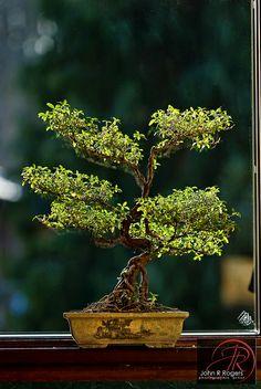 RK:Sudy's Bonsai | Flickr - Photo Sharing!
