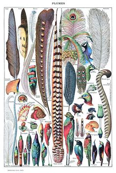 ファイル:Types de plumes. - Larousse pour tous, -1907-1910-.jpg
