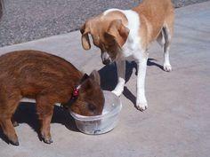Piggie eating Diesels food