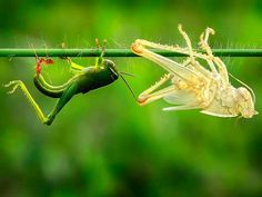 Nature shot of the day: a grasshopper just after shedding its exoskeleton.   Photograph by Adhi Prayoga