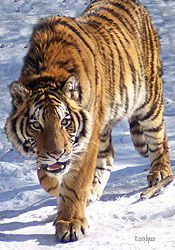 Ussuri, male Siberian tiger. Ussuri lives at the Bear Creek Exotic Wildlife Sanctuary in Barrie, Ontario, Canada.