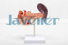 Human Anatomical Pancreas Duodenum Spleen Organ Dissection Medical Teach Model