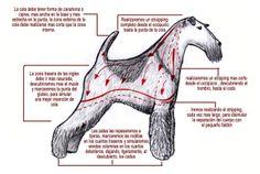 Arreglo comercial de Fox terrier de pelo duro.
