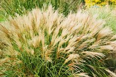 Extremely compact, Maiden Grass 'Little Kitten' (Miscanthus sinensis) is perfect for small gardens.