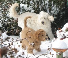 Our oldest Goldendoodle showing his nephew snow for the first time.