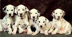 Watchful little #Dalmatians