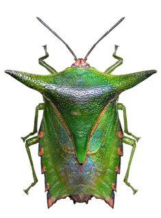 Pygoplatys sp. acutus
