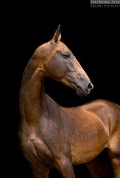 Photos of Akhalteke horses by Ekaterina Druz Equine Photography Work Horses, Cute Horses, Pretty Horses, Horse Love, Black Horses, Zebras, Akhal Teke Horses, Andalusian Horse, Friesian Horse