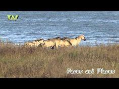 LibraryLook: Konik Herd Behaviour - YouTube