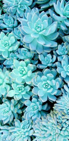 Succulent wallpaper