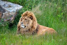 Beautiful Lion Relaxing
