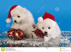 Christmas Pomeranian Puppies | Christmas puppies white Pomeranian Spitz wearing a santa hat.