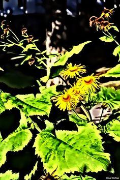 Doronicum flowers, July 18, 2014.