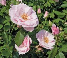 Mrs. Sam Houston - The Antique Rose Emporium