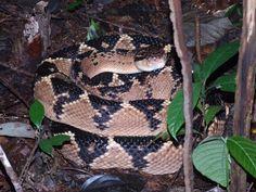 Lachesis_muta-Amazonas- Jararaca Pico de Jaca , a maior cobra venenosa do Brasil, pode chegar até 4,5 metros de comprimento. The Venom, Pit Viper, Pico, Beautiful Snakes, Planting Roses, Amphibians, Animals And Pets, Cool Pictures, Creatures