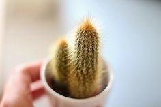 Cactus, plant, green Cactus, Tableware, Green, Plants, Prickly Pear Cactus, Dinnerware, Dishes, Plant, Planting