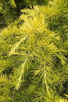 Feelin' Sunny® Deodar Cedar is an exclusive new introduction with bright, golden-yellow foliage. Spreading habit may be trained into upright or patio tree forms.Reaches 5 to 12 ft. tall in normal form, spreading 6-8 ft. wide in 10 years. Zone: 7 – 9  Use:  Accent, massed, groundcover, large container specimen.