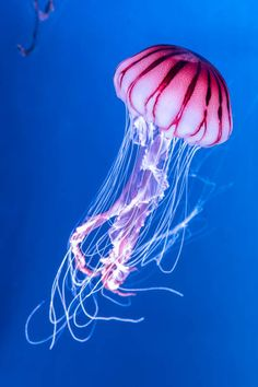 Vibrant Pink - Stock Photo - Ideas of Stock Photo Photo - Pacific sea nettle Chrysaora melanaster jellyfish. Vibrant Pink against a deep blue background stock photo Colorful Jellyfish, Jellyfish Facts, Jellyfish Tank, Jellyfish Drawing, Jellyfish Painting, Jellyfish Tattoo, Watercolor Jellyfish, Jellyfish Quotes, Jellyfish Light