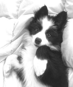 Astounding Border Collie Dog Tips Ideas Border Collie Training, Border Collie Pups, Border Collie Colors, Border Collie Blue Merle, Cute Puppies, Cute Dogs, Dogs And Puppies, Dalmatian Puppies, Doggies