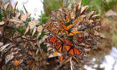 $2m to be spent on growing milkweed and other butterfly-friendly plants along main migration routes from Minnesota to Mexico as population slumps by 90%