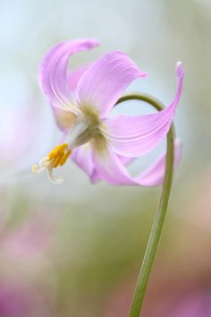 Erythronium by Brian Haslam on 500px