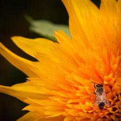 Busy Bee getting breakfast on a Beautiful Sunflower blooming in British Columbia.