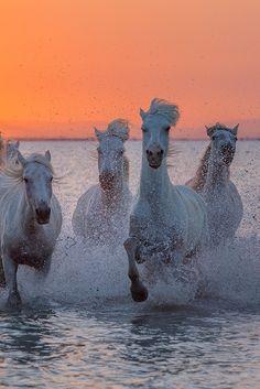 Camargue Horses | Vadim Balakin http://vvptm.35photo.ru/photo_931991/#author/931991