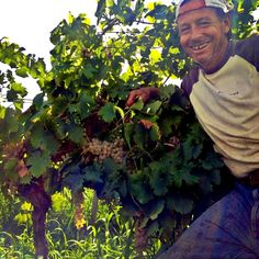 From Contrada Case Nuove...happiness for being so close to the goal #cronovendemmia #settesoli #grecanico #vinobianco #harvest #vendemmia2013 #vinosiciliano #growers #menfishire #autunno #sicily