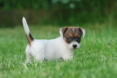 Google Image Result for http://www.cutepuppiesforsale.net/wp-content/uploads/2010/09/Jack-Russell-Terrier-puppies-for-sale.jpg