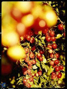 Mirabel 'Magda Jensen'/Prunus cerasifera 'Magda Jensen' CAC