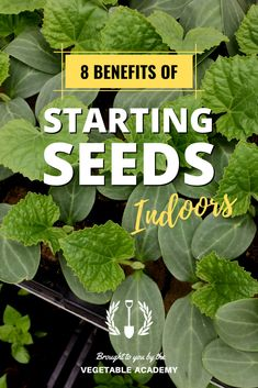 Most people start their vegetable seeds indoors just to get an early start on the gardening season, but there are so many more reasons to use transplants in the garden. Here are the top advantages we enjoy when growing our own vegetables from seed. Starting Vegetable Seeds, Starting Seeds Indoors, Seed Starting, Vegetable Garden For Beginners, Gardening For Beginners, Vegetable Gardening, Germinating Seeds Indoors, Planting Seeds Quotes, When To Plant Seeds
