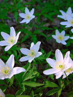 Anemone nemorosa, Finland // photo by Sameli Kujala. We pick these for Mother's day (the second Sunday in May).