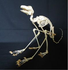TAXIDERMY: REAL  MALAYAN COLUGO  SKELETON Skeleton Anatomy, Skeleton Bones, Skull And Bones, Animal Skeletons, Animal Skulls, Alien Pictures, Skull Reference, Fossil Jewelry, Animal Bones