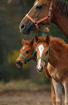 mom and foals. Twins almost never survive. All The Pretty Horses, Beautiful Horses, Animals Beautiful, Farm Animals, Animals And Pets, Cute Animals, Zebras, Horse Pictures, Animal Pictures