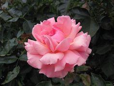 ❥ Pink Hybrid Tea Rose
