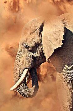 African Elephant.                                                       …