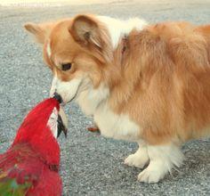 Pembroke Welsh Corgi   Pembroke Welsh Corgi Wallpapers   Fun Animals Wiki, Videos, Pictures ...