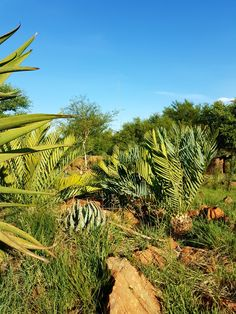 E.princeps  Vaal Retreat  5 Nov.2017 South Africa, Vineyard, Garden, Plants, Outdoor, Outdoors, Garten, Vine Yard, Lawn And Garden
