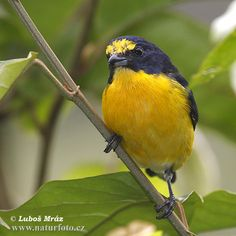 yellow-throated euphonia from costa rica