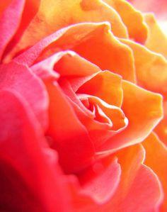 Peonies orange & pink roses The last rose.