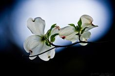 Moonlight Dogwood Blossoms by Lee Hiller #Photography and #Design