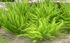 Asparagus Fern - maybe 3 in courtyard under maple? but mostly gravel Backyard Pool Landscaping, Landscaping Plants, Front Yard Landscaping, Landscaping Ideas, Fern Plant, Asparagus Fern, Shade Garden Plants, Potted Plants, Perennials