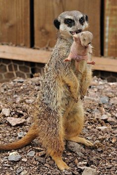 19 Animal Moms That Are Carrying Their Kids is part of Animals 19 Animal Moms That Are Carrying Their Kids World& largest collection of cat memes and other animals - Nature Animals, Animals And Pets, Wild Animals, Beautiful Creatures, Animals Beautiful, Cute Baby Animals, Funny Animals, Baby Meerkat, Baby Otters