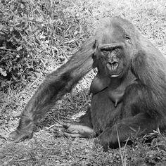 Gorilla... a very human look ! ... 38 (n&b)(t) by Olao-Olavia par Okaio Créations fz 1000