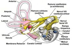Vestibular system and inner ear problems Inner Ear Anatomy, Head Anatomy, Brain Anatomy, Horse Anatomy, Medical Anatomy, Anatomy And Physiology, Vestibular Neuritis, Vestibular System, Anatomy Images